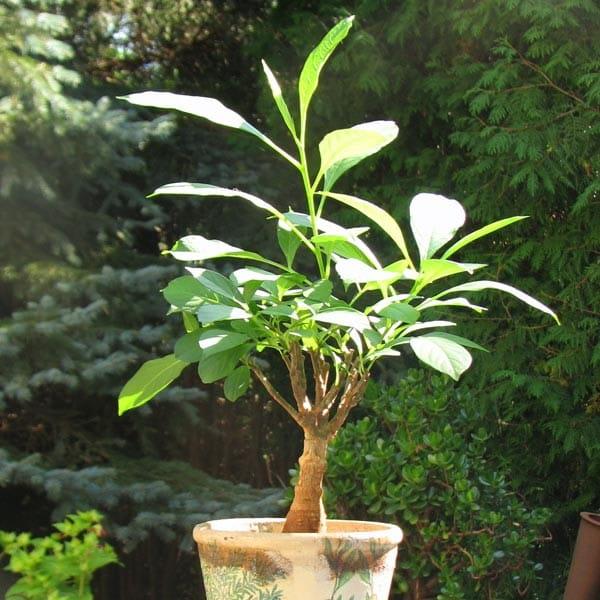 Baobab Setzling Klein - 1-2 Jahre - Zimmerpflanze