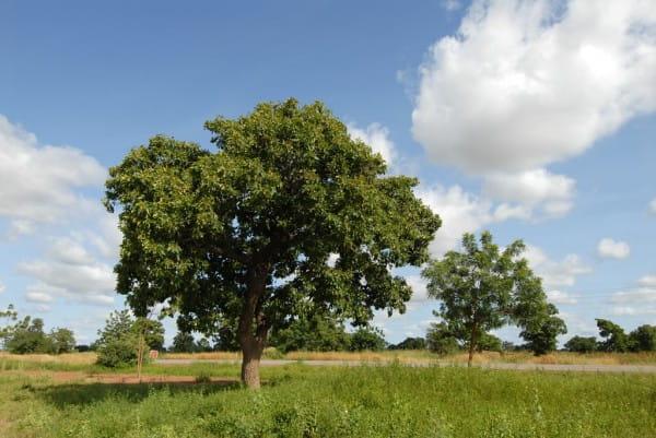 Bio-Sheabutter-Ghana-Baum-Karitet73WakwHYVJlS