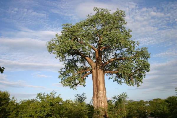 Baobab Spülung - Trockenes Haar