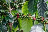 Vorschau: Der-beste-Kaffee-der-Welt