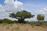Vorschau: Marula-Baum-Tree-Namibia